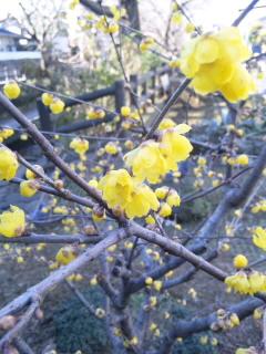 臘梅が咲いていた