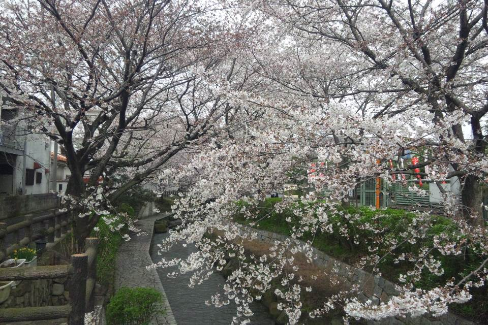 二ヶ領用水の桜が見頃