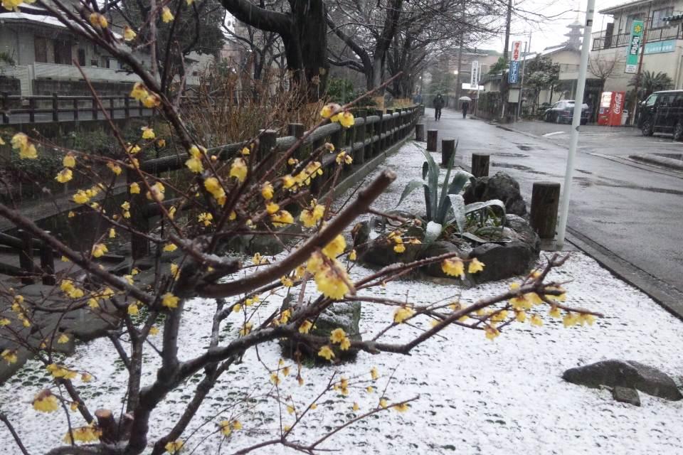またもやの雪景色とろう梅